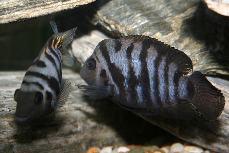 File:Convict Cichlids-280.jpg