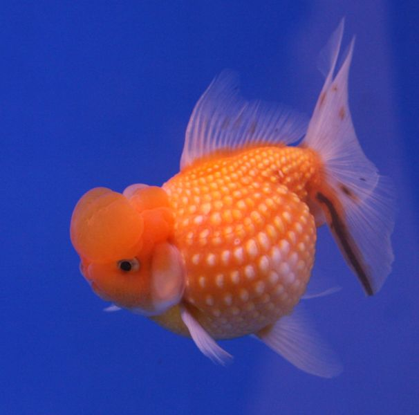 Goldfish HamaPearl Scale.jpg