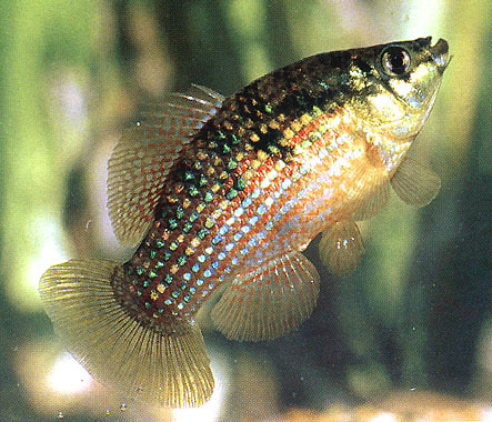File:AmericanFlagfish453.jpg