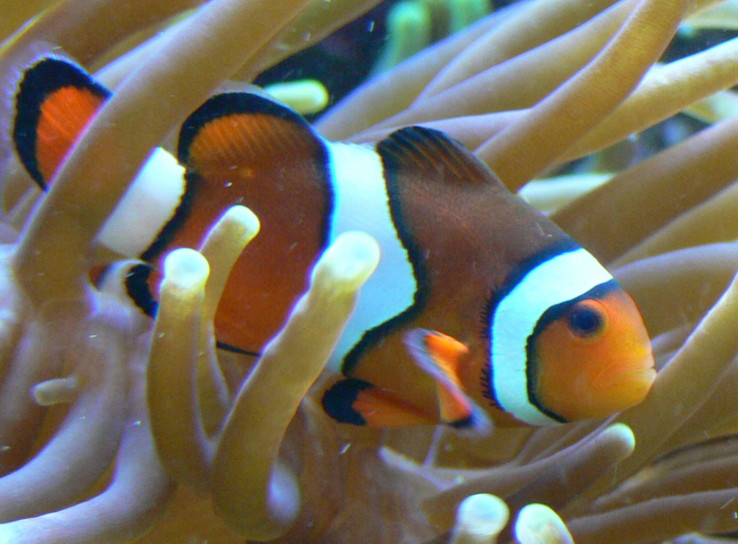 File:Amphiprion percula.JPG