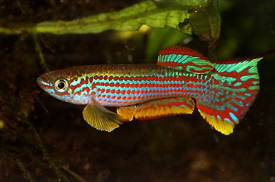 Red-Striped Killifish