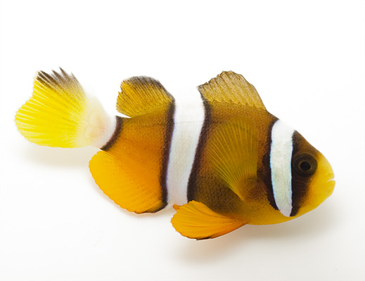 File:Amphiprion clarkii-998.jpg