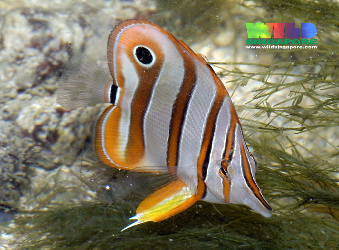 File:Copperbandbutterflyfish-6804.jpg