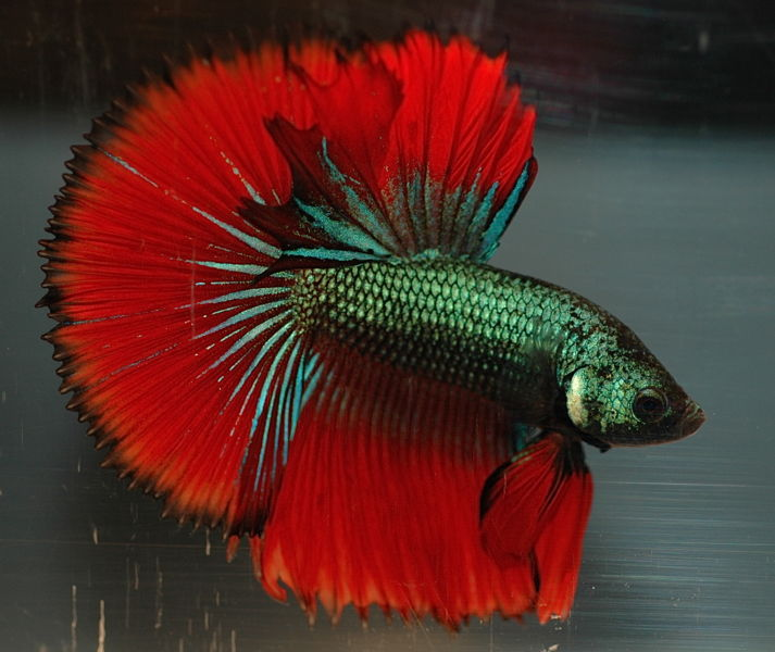 File:HM Imbellis betta-2027.jpg