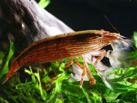 Bamboo shrimp.jpg