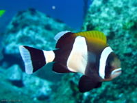 Amphiprion latezonatus-9029.jpg