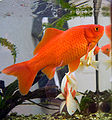 Commongoldfish199287.jpg