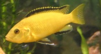 Electric Yellow Cichlid.jpg