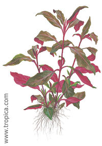 Alternanthera reineckii purple lilacina1.jpg