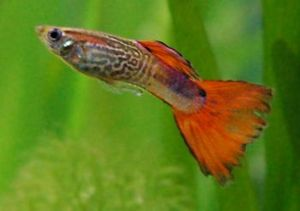 Male Guppy.jpg