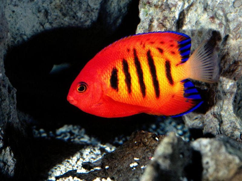 File:FlameAngelfish1-4718.jpg