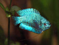 Powder Blue Gourami1.jpg
