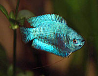 Stocking a Peaceful Community Tank - The Free Freshwater and Saltwater Aquarium Encyclopedia ...