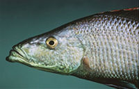 Dimidiochromiscompressiceps.jpg