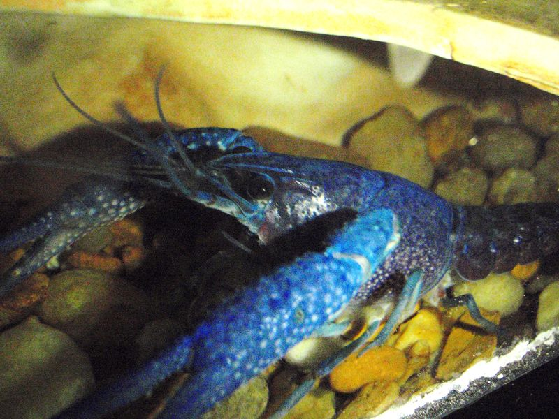 File:Male Blue Crayfish.jpg