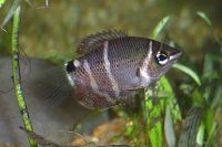 Chocolategourami-7524.jpg