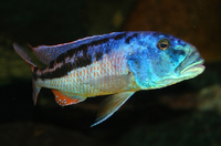 Aristochromis christyi.png