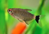 Red Eye Tetra2.jpg