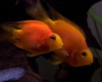 Blood parrot cichlid-3386.jpg