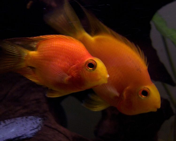 File:Blood parrot cichlid-3386.jpg