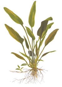 Cryptocoryne x willisii.jpg