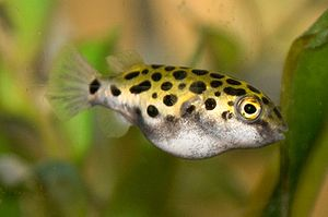 Green Spotted Puffer 1-4958.jpg