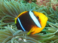 Amphiprion chrysopterus-9265.jpg