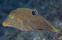 Canthigaster papua6667.jpg