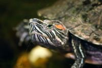 Red-Eared Slider-9087.jpg