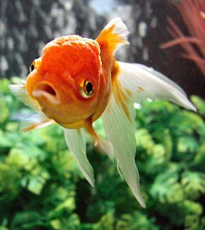 Can Tropical Fish Eat Goldfish Food